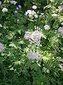 Chaerophyllum hirsutum 01.JPG