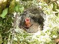 Chaffinch Nest 06-05-11 (5694770822).jpg