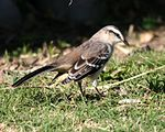 Chalk-browed Mockingbird (Mimus saturninus).jpg