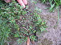 Chamaesyce hirta plant3 (12111119775).jpg