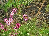 Chamelaucium uncinatum1
