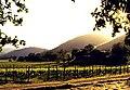 Chateau Montelena vines.jpg