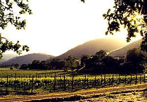 California vineyard in Calistoga, Napa Valley