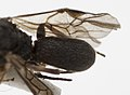 Chelonus sp (16737089439).jpg