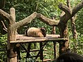 Chengdu Research Base of Giant Panda Breeding, 201907, 10.jpg
