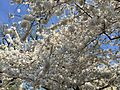 Cherry Blossom Tree Washington DC April 12 2015.jpg