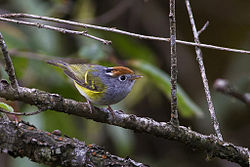 Chestnut-Crowned Warbler Fambong Lho Wildlife Sanctuary Sikkim India 27.03.jpg