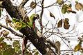 Chestnut-fronted Macaw - Maracaná (Ara severa severa) (14071449040).jpg