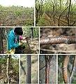 Chestnut plantations (10.3897-mycokeys.48.31715) Figure 1.jpg