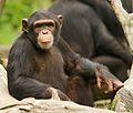 Chimpanzee (13968481823).jpg