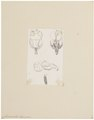 Chinchilla lanigera - schedel en kiezen - 1700-1880 - Print - Iconographia Zoologica - Special Collections University of Amsterdam - UBA01 IZ20600153.tif