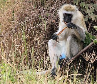 Chlorocebus - Vervet monkey with blue scrotum
