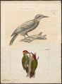 Chloronerpes aurulentus - 1700-1880 - Print - Iconographia Zoologica - Special Collections University of Amsterdam - UBA01 IZ18700377.tif