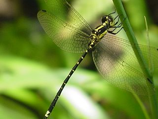 <i>Eusynthemis</i> genus of insects