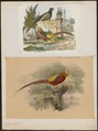 Chrysolophus pictus - - Print - Iconographia Zoologica - Special Collections University of Amsterdam - UBA01 IZ16900250.tif
