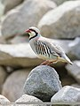 Chukar Partridge (Alectoris chukar).jpg