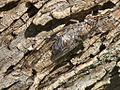 Cicada (Cicada orni) - 02.jpg