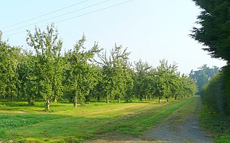 Bulmers cider orchard east of Hereford, near the River Wye Cider orchards east of Hereford 2 - geograph.org.uk - 899483.jpg