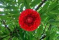 Cienfuegos parc brownea grandiceps.JPG