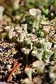 Cladonia fimbriata (15405860377).jpg