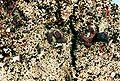 Cladonia peziziformis-1.jpg