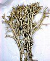 Cladonia uncialis-4.jpg
