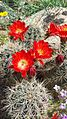 Claret cup cactus at the El Paso Museum of Archaeology5.jpg
