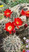 Claret cup cactus and desert flowers in bloom.