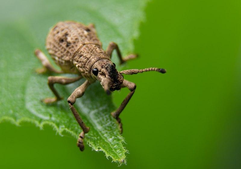 File:Clay coloured Weevil.jpg