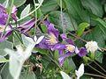 Clematis Fukuzono - Flickr - peganum.jpg