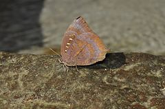 Close wing position of Arhopala centaurus Fabricius, 1775 – Centaur Oakblue WLB DSC 0044 (4).jpg