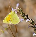 Clouded Yellow (Colias croceus) female foraging ... (37080346761).jpg