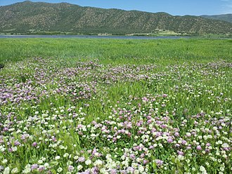 Clover - Colorful flowers of clovers, beside Zarivar Lake, in Iran