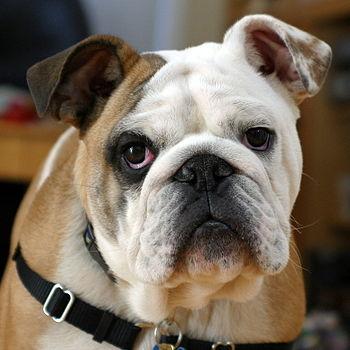 Clyde, the english bulldog puppy