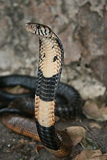 Forest cobra species of reptile