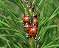 Coccinella septempunctata (a gathering of 7-spots) - Flickr - S. Rae.jpg