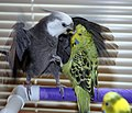 Cockatiel vs English Budgie.jpg