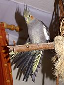 A grey parrot with white wings (except for the edges), a red cheek, and a yellow-grey head