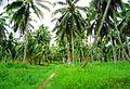 Coconut trees (10).JPG