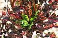 Codiaeum variegatum 12zz.jpg