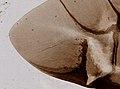 Coleoptera (YPM IZ 098554).jpeg