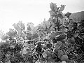Collectie Nationaal Museum van Wereldculturen TM-10021333 Vruchtdragende cactussen Saba -Nederlandse Antillen fotograaf niet bekend.jpg