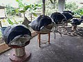 Collection of giant tortoise shells (45570229504).jpg