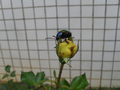 Colorful beetle from Brasília, Brazil in a yellow rose 2.png
