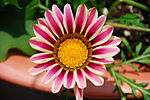 Colourful Flower 03.JPG