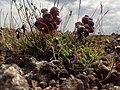 Coluteocarpus vesicaria Sevkar 06.jpg