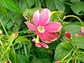 Combretum Indicums in Baldha Garden.jpg