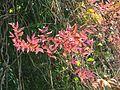 Combretum razianum young leaves at Kunnathurpadi 02.jpg