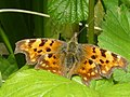 Comma Butterfly - geograph.org.uk - 1302838.jpg