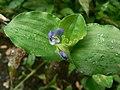 Commelina benghalensis (1426602137).jpg